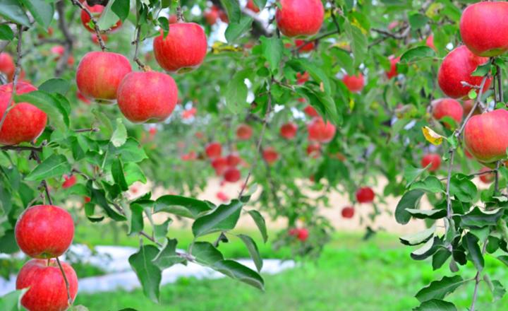 果物の話、リンゴ。